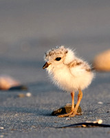 Sachuest Piping Plovers